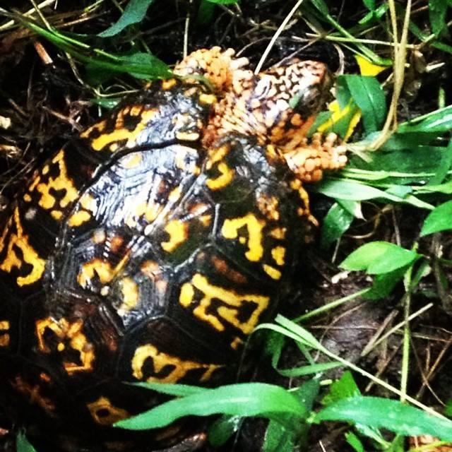 biodynamic farm turtle