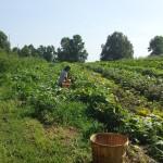 field farm organic tn big hops