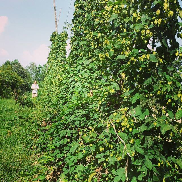 hops garden jeff poppen green summer