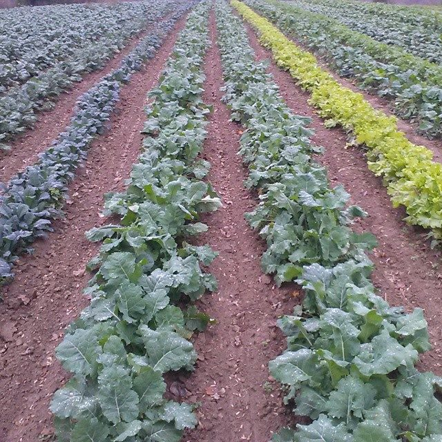 long rows of greens kale, tuscany kale, organic, tn