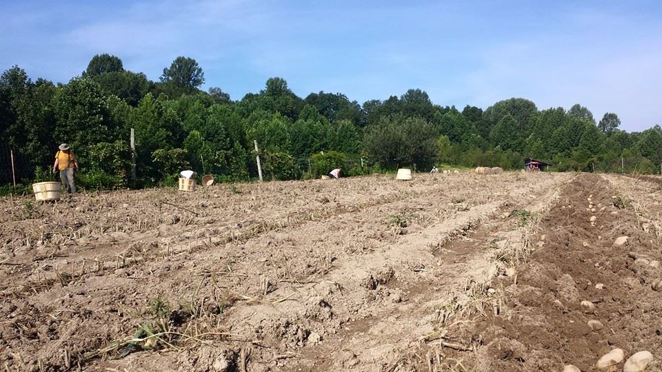 potato digging 2015 organic farm tn nashville csa