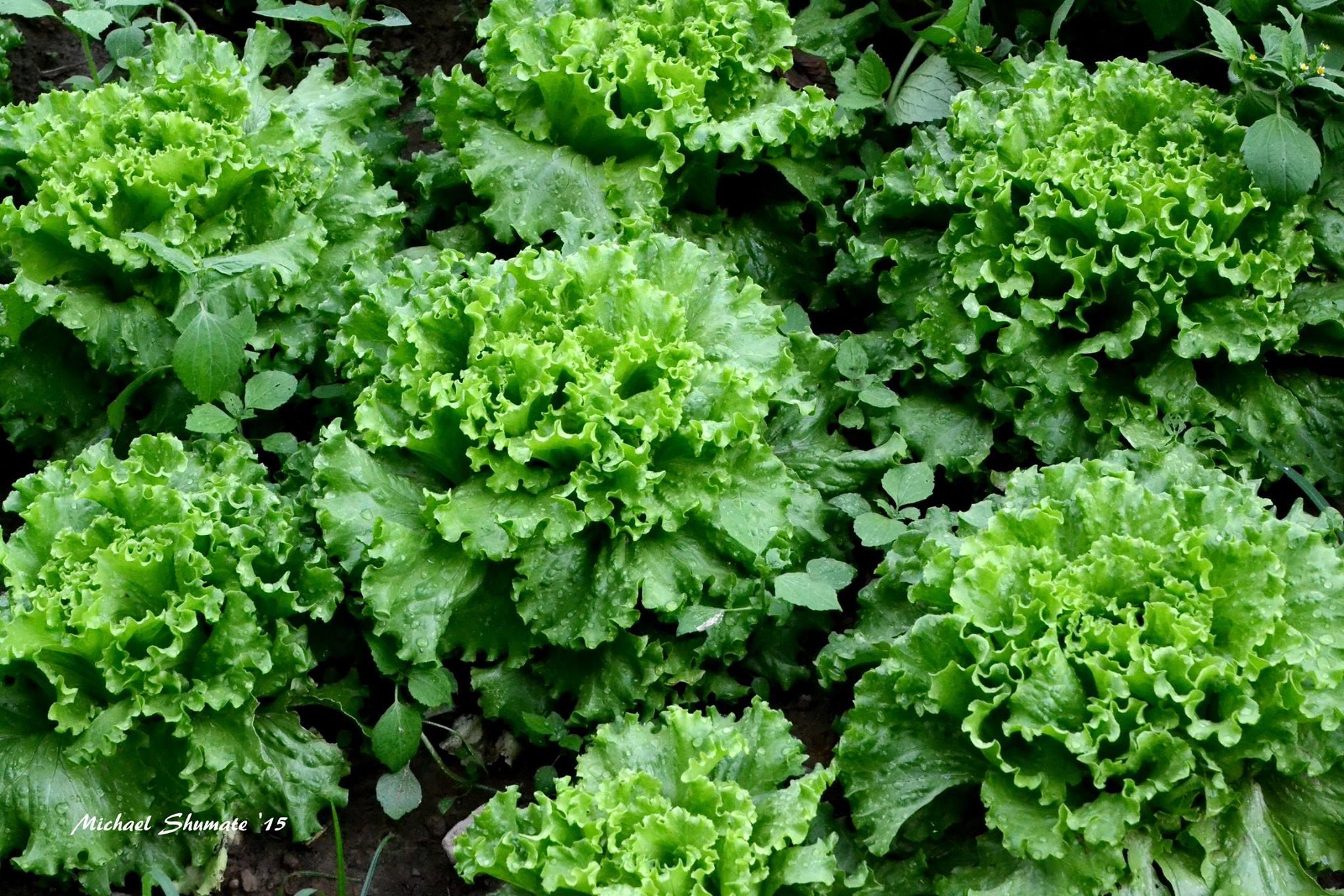 lettuce, organic, farm, tn, biodynamic, music festival, garden