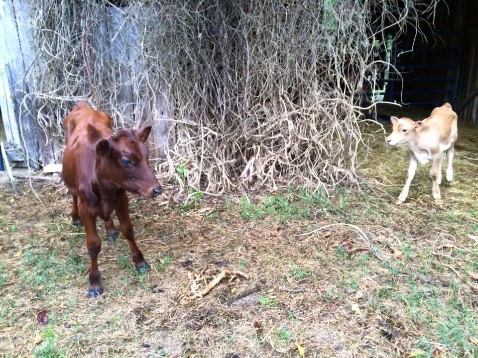 calves at bdc 2015